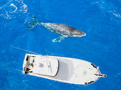 An aerial view of a Humpback Whale (Megaptera novaeangliae) surfacing beside a vessel; Lanai City, Lanai, Hawaii, United States of America  - p442m1578818 by Dave Fleetham