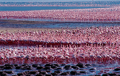 Flamingo - p6520427 by Nigel Pavitt