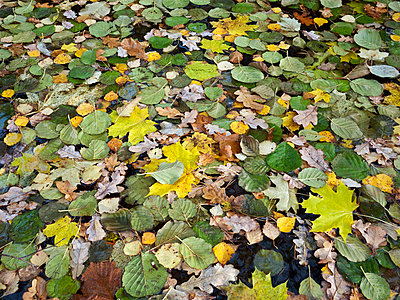 Dead leaves floating on water, autumn   - p8477028 by Bengt Olof Olsson