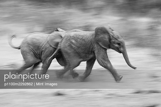 Two elephant calves, Loxodonta Africana, run together, motion blur, - p1100m2292862 by Mint Images