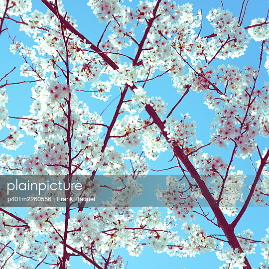 Cherry blossom - p401m2260556 by Frank Baquet
