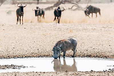 Ein Warzenschwein an einer Wasserstelle, Kalahari, Afrika - p1065m982600 von KNSY Bande
