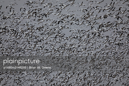 Thousands of Snow Geese blast off from a field - p1480m2148255 by Brian W. Downs