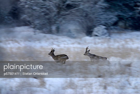 Roebucks hunting each other in the snow Sweden - p5750141f by Stefan Ortenblad