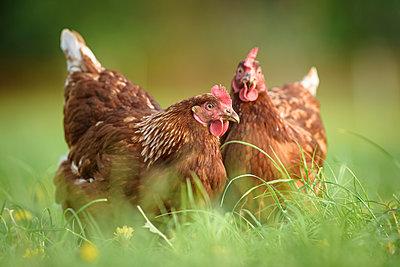 Freilandhühner - p1273m1578256 von melanka