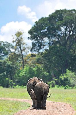 Elephants on the Road - p533m1134186 by Böhm Monika