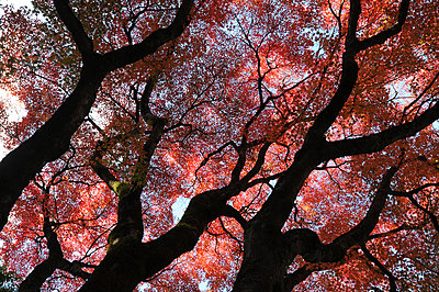 Glorious autumn leaf colour in the Japanese maple trees in Ginkakuji  Zen temple garden, Kyoto, Japan, Asia - p871m1561092 by Annie Owen