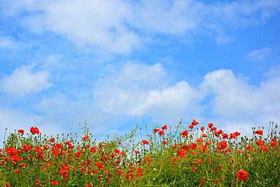 Poppy field - p876m830881 by ganguin