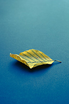 Single Autumn leaf on a blue background - p1228m1488525 by Benjamin Harte