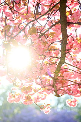 Sunrays shine through cherry blossom trees - p179m1475169 by Roland Schneider