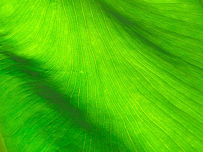 Close up of leaf, Malaysia - p4692686 by Felix Oppenheim
