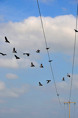 Pidgins on an electric cable - p8760128 by ganguin