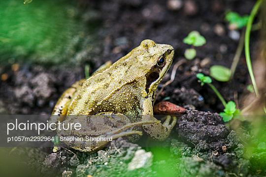 Frog in the garden - p1057m2292964 by Stephen Shepherd