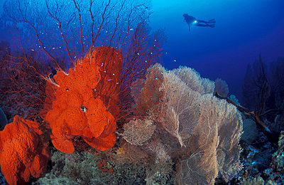 Sponges and fan corals with diver. Underwater/Papua New Guinea. - p3435368 by Jurgen Freund