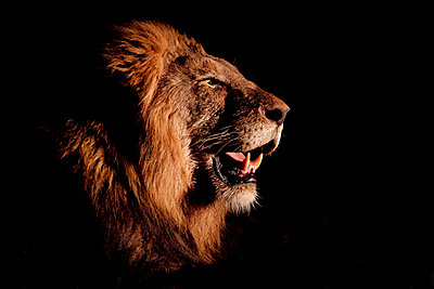 A side profile of a male lion's head, Panthera leo, open mouth, lit up by spotlight, black background. - p1100m2061122 by Londolozi Images