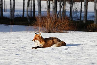 Fox enjoying the sun - p235m900458 by KuS