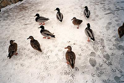 Ducks in winter - p930m814860 by Ignatio Bravo