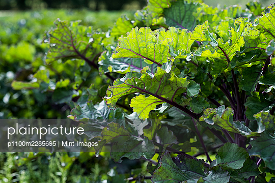 Close up of purple kale leaves. - p1100m2285695 by Mint Images