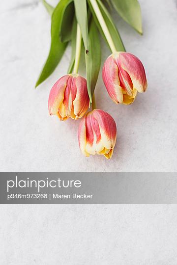 Tulpenstrauß im Schnee - p946m973268 von Maren Becker