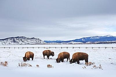 Four american buffalo grazing in snow, Grand Teton National Park, Wyoming, USA - p924m895711f by Seth K. Hughes