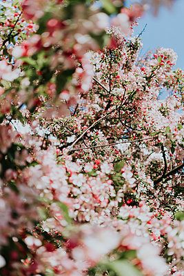 Blossoming season in spring - p1184m1424433 by brabanski