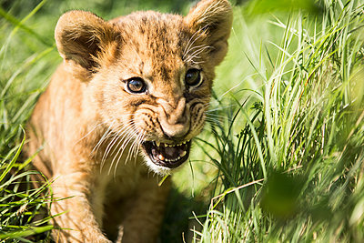 Close-up of lion cub roaring in grass - p301m1406189 by Kit Korzun