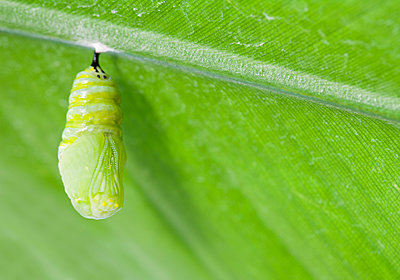 Monarch butterfly chrysalis hanging from leaf - p555m1479366 by PBNJ Productions