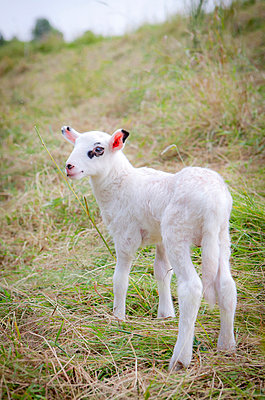 Young lamb - p901m856751 by St. Fengler