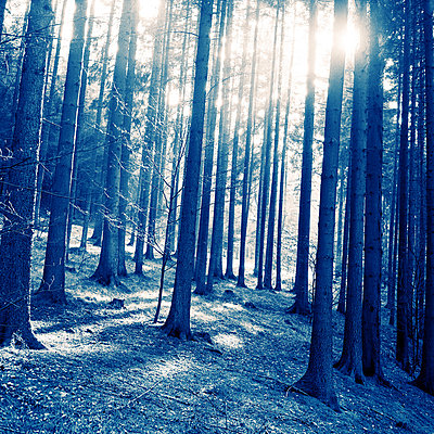 Pine forest with low sun - p416m784653 by Thomas Schaefer