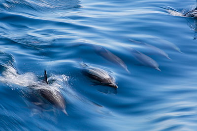 Long-beaked common dolphin (Delphinus capensis), motion blur in ship's wake near Isla Santa Catalina, Baja California Sur, Mexico, North America - p871m961995f by Michael Nolan