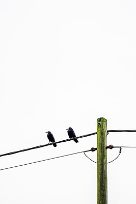 Two Rooks sitting on a power line  - p1302m2217314 by Richard Nixon