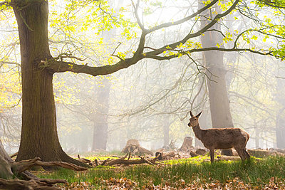 Red Deer in Richmond Park, London, England, United Kingdom - p871m2122926 by Matthew Williams-Ellis