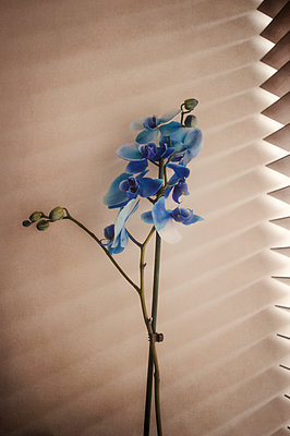Orchid plant with blue flowers by window blinds - p1047m2043311 by Sally Mundy