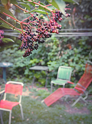 Elderberry in the garden - p922m2071562 by Juliette Chretien