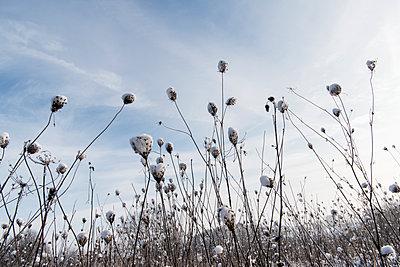 Baumwollpflanzen - p949m1200284 von Frauke Schumann