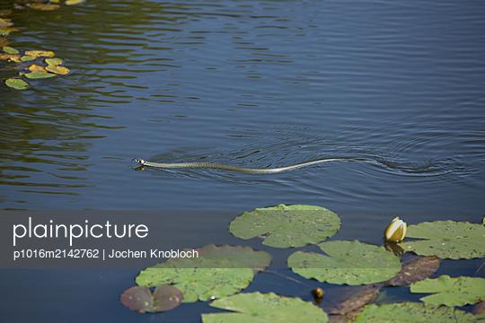 Grass snake in lake - p1016m2142762 by Jochen Knobloch