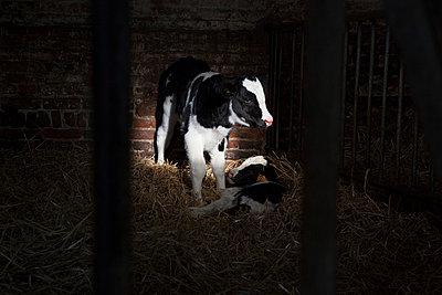 Cow barn - p1058m817106 by Fanny Legros