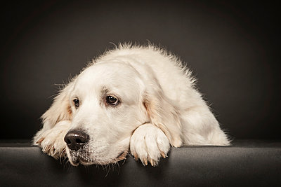 Dog - p403m953314 by Helge Sauber