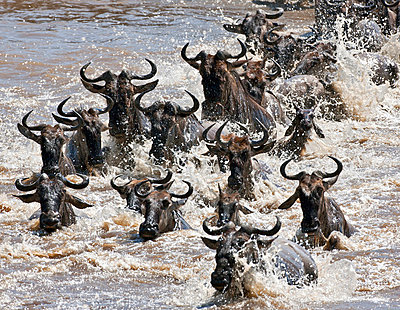 Wildebeest crossing the Mara River during their annual migration from the Serengeti National Park in Northern Tanzania to the Masai Mara National Reserve - p6521401 by Nigel Pavitt