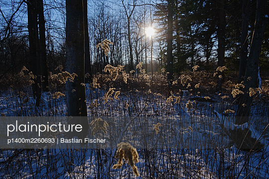 Reed in winter - p1400m2260693 by Bastian Fischer