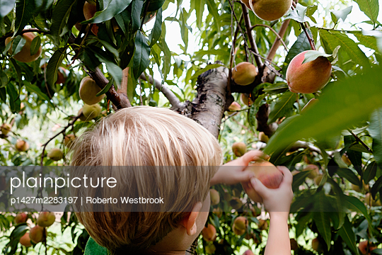 Rear view of boy picking peach from tree on fruit farm - p1427m2283197 by Roberto Westbrook