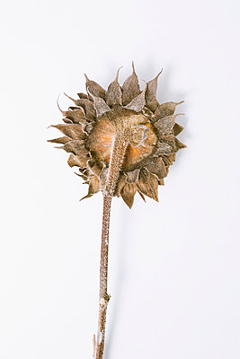Withered sunflower - p1149m2141444 by Yvonne Röder
