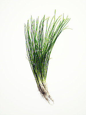 Chives. - p31221246f by Alexander Crispin