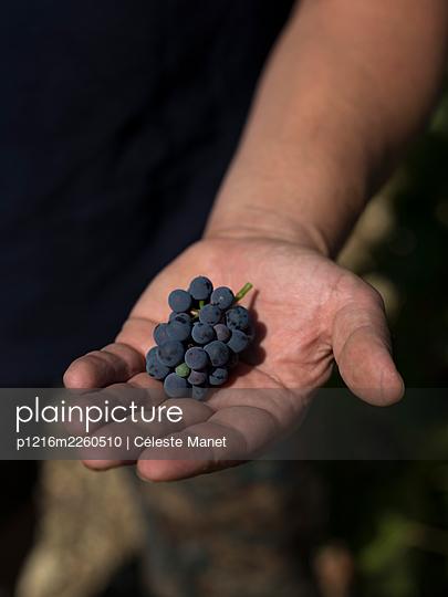 Vine and grapes - p1216m2260510 by Céleste Manet