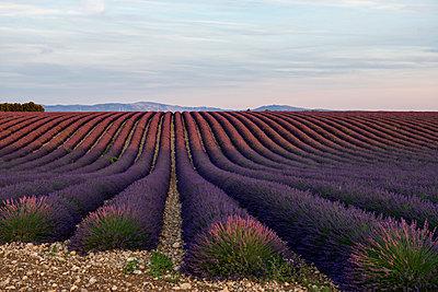 Lavendelfeld, bei Valensole, Plateau de Valensole, Alpes-de-Haute-Provence, Provence, Frankreich - p1316m1161020 von Daniel Schoenen