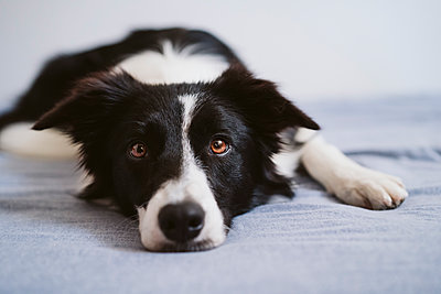 Border Collie resting while lying on bed at home - p300m2251246 by Eva Blanco