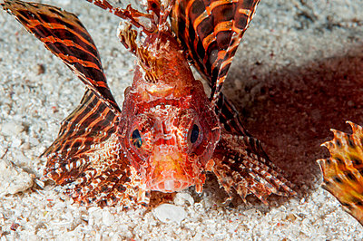 Shortfin lionfish, Sulawesi, Indonesia, Southeast Asia, Asia - p871m731917 by Lisa Collins