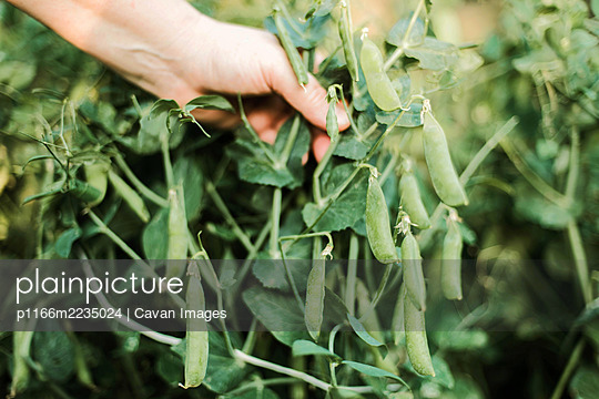 Woman's hand picking peas, close-up - p1166m2235024 by Cavan Images