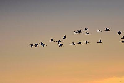 Ein Schwarm Kraniche fliegt in Keilformation durch den Himmel bei Sonnenuntergang - p235m2021755 von KuS