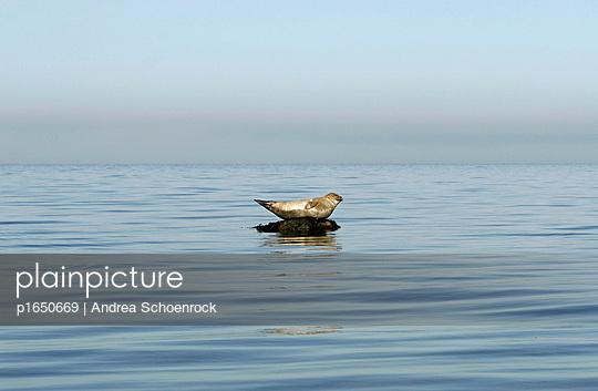 Seehund angespannt - p1650669 von Andrea Schoenrock